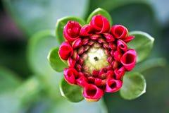 Floración de la dalia Foto de archivo