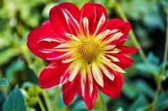 Floración de la dalia fotografía de archivo