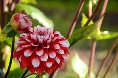 floración de la dalia Imagenes de archivo