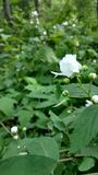Floración de la flor Fotografía de archivo libre de regalías
