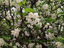 Floración de la flor blanca imagen de archivo libre de regalías