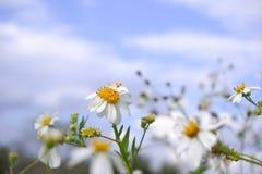 Floración de la flor blanca de la margarita en naturaleza contra fondo del cielo azul imágenes de archivo libres de regalías