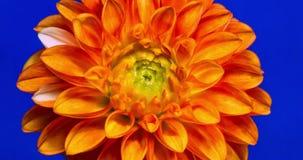 Floración de la flor de la dalia almacen de video