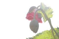 Floración de la flor de la amapola Imagenes de archivo