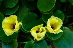 Floración de la flor de la amapola del agua Imagen de archivo libre de regalías