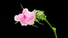 Floración de la flor de la cadera de Rose aislada almacen de metraje de vídeo