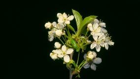 Floración de la flor de la cereza almacen de metraje de vídeo