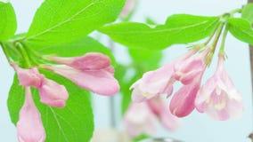 Floración de la flor de la Florida del Weigela almacen de video