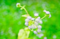 Floración de la flor de la mala hierba de la cabra Fotos de archivo libres de regalías