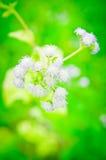 Floración de la flor de la mala hierba de la cabra Foto de archivo libre de regalías