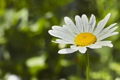 Floración de la flor de la margarita Imagenes de archivo