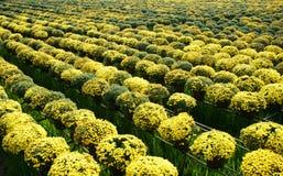 Floración de la flor de la margarita en amarillo en la granja de la flor Foto de archivo