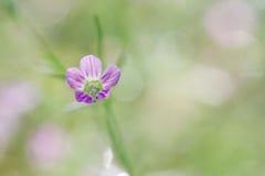 Floración de la flor de la primavera del Gypsophila, tiro macro en verde-p suave dulce Imagen de archivo