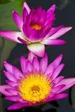 Floración de la flor de loto Imágenes de archivo libres de regalías