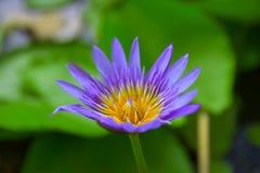 Floración de la flor de Lotus con el fondo de las hojas (1) Foto de archivo