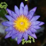 Floración de la flor de Lotus (lirio de agua) Foto de archivo libre de regalías