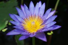 Floración de la flor de Lotus (lirio de agua) Fotografía de archivo