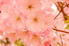 Floración de la flor de Sakura Imagenes de archivo