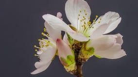 Floración de la flor del albaricoque almacen de metraje de vídeo