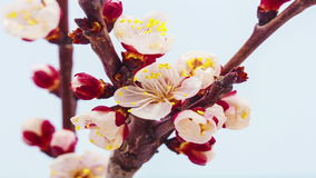 Floración de la flor del albaricoque almacen de video