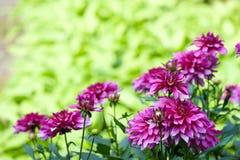 Floración de la flor del aster del otoño Fotografía de archivo libre de regalías