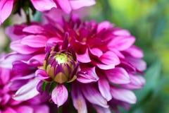 Floración de la flor del aster del otoño Foto de archivo libre de regalías