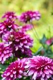Floración de la flor del aster del otoño Fotos de archivo