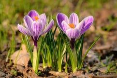 Floración de la flor del azafrán Fotos de archivo libres de regalías