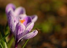 Floración de la flor del azafrán en el campo Foto de archivo libre de regalías