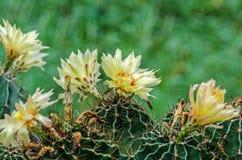 Floración de la flor del cactus fotografía de archivo