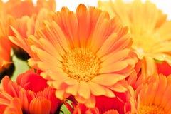 Floración de la flor del Calendula Fotos de archivo