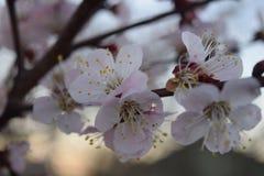 Floración de la flor del flor plena en estación de primavera del cielo azul Imagen de archivo