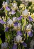 Floración de la flor del iris Imágenes de archivo libres de regalías