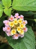 Floración de la flor del Lantana Imagenes de archivo