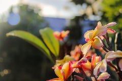 Floración de la flor del Plumeria Fotos de archivo libres de regalías