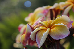 Floración de la flor del Plumeria Imagen de archivo
