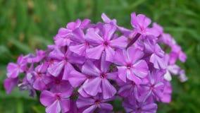 Floración de la flor del primer metrajes