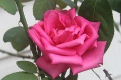 Floración de la flor de Rose Fotos de archivo libres de regalías