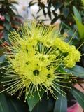 Floración de la flor de Xanthostemon fotos de archivo