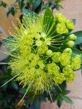 Floración de la flor de Xanthostemon Fotografía de archivo