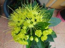Floración de la flor de Xanthostemon Foto de archivo