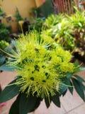 Floración de la flor de Xanthostemon Imagen de archivo libre de regalías