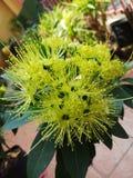 Floración de la flor de Xanthostemon Foto de archivo libre de regalías