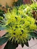 Floración de la flor de Xanthostemon Imagen de archivo