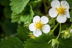 Floración de la fresa salvaje Foto de archivo libre de regalías