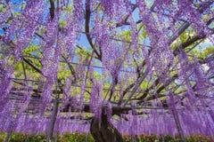 Floración de la glicinia Imagenes de archivo