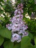 Floración de la lila fotos de archivo