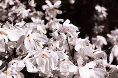 Floración de la magnolia Fotografía de archivo