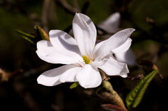 Floración de la magnolia Foto de archivo libre de regalías