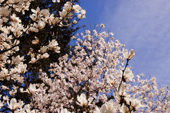 Floración de la magnolia imagen de archivo